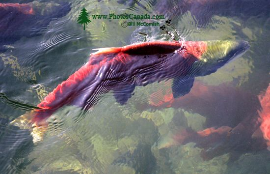 Adams River Sockeye Run 2010, British Columbia, Canada CM11-009