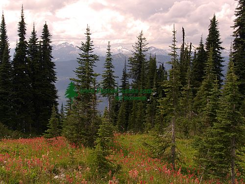 Alpine Wildflowers, Mount Revelstoke National Park, British Columbia, Canada 02