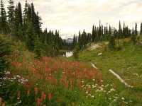 Alpine Wildflowers, Mount Revelstoke National Park, British Columbia, Canada  05