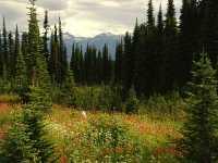 Alpine Wildflowers, Mount Revelstoke National Park, British Columbia, Canada  07