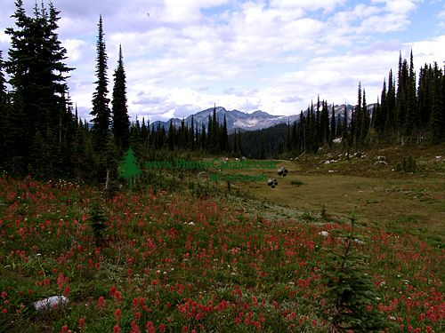 Alpine Wildflowers, Mount Revelstoke National Park, British Columbia, Canada 09