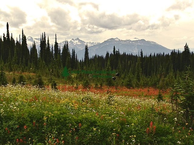 Alpine Wildflowers, Revelstoke National Park, B.C. Canada 16