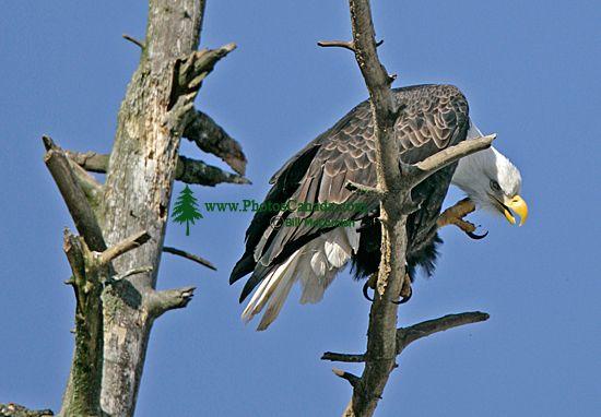 American Bald Eagle, Squamish, British Columbia, Canada CM11-002