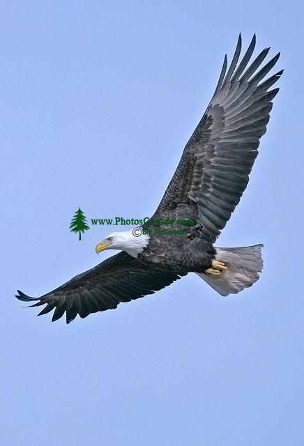 American Bald Eagle, Squamish, British Columbia, Canada CM11-003