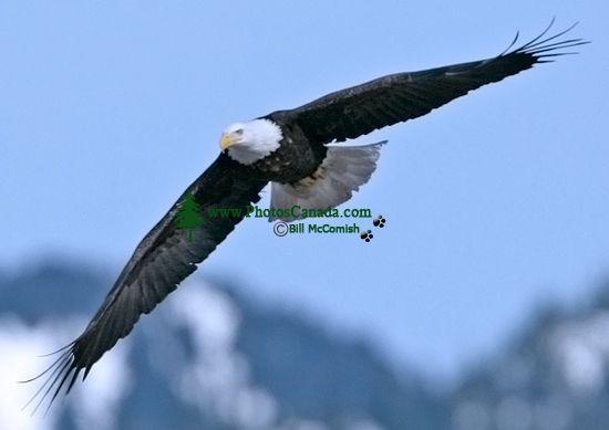 American Bald Eagle, Squamish, British Columbia, Canada CM11-004