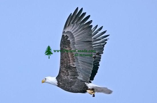 American Bald Eagle, Squamish, British Columbia, Canada CM11-005