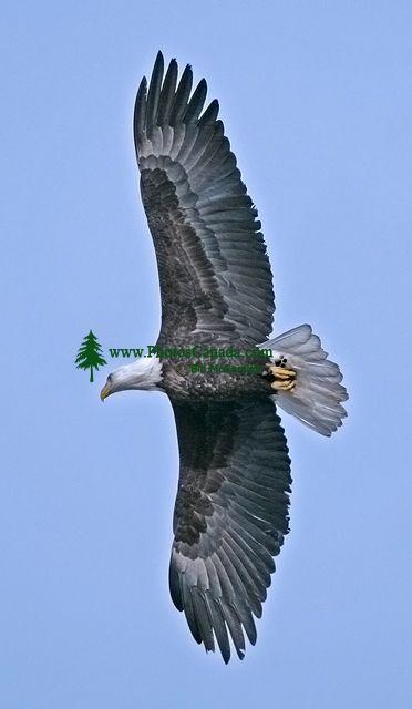 American Bald Eagle, Squamish, British Columbia, Canada CM11-006