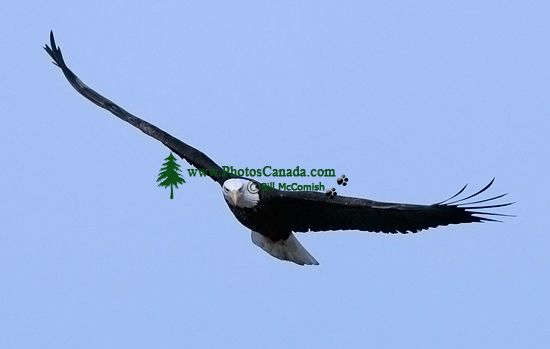 American Bald Eagle, Squamish, British Columbia, Canada CM11-007