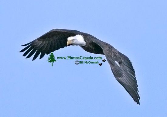 American Bald Eagle, Squamish, British Columbia, Canada CM11-008
