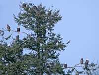American Bald Eagles, Squamish, British Columbia, Canada CM11-025
