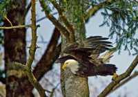 American Bald Eagle, Squamish, British Columbia, Canada CM11-043