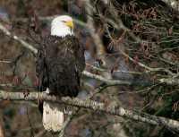 American Bald Eagle, Squamish, British Columbia, Canada CM11-044