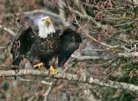 American Bald Eagle, Squamish, British Columbia, Canada CM11-046