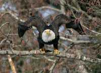 American Bald Eagle, Squamish, British Columbia, Canada CM11-047