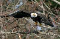 American Bald Eagle, Squamish, British Columbia, Canada CM11-048