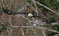 American Bald Eagle, Squamish, British Columbia, Canada CM11-049