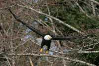 American Bald Eagle, Squamish, British Columbia, Canada CM11-050