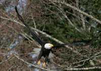 American Bald Eagle, Squamish, British Columbia, Canada CM11-051