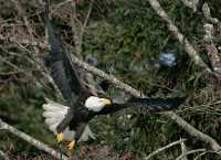 American Bald Eagle, Squamish, British Columbia, Canada CM11-052