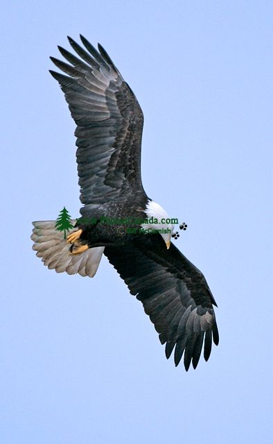 american bald eagle essay American bald eagle essaysthe haliaeetus leucocephalus is commonly know as the southern bald eagle the southern bald eagle is a member of the accipitradae family.