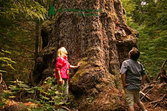 Ancient Red Creek Fir, Port Renfrew Region, Vancouver Island CM11-001