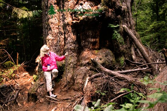 Ancient Red Creek Fir, Port Renfrew Region, Vancouver Island CM11-002