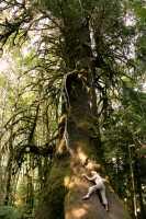 Big Spruce, Port Renfrew Region, Vancouver Island CM11-01