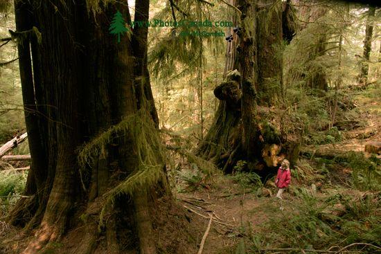 Three Sisters Cedars, Port Renfrew Region, Vancouver Island CM11-001