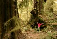 Three Sisters Cedars, Port Renfrew Region, Vancouver Island CM11-002