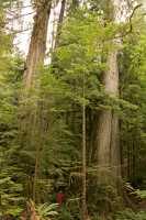 Three Sisters Cedars, Port Renfrew Region, Vancouver Island CM11-003