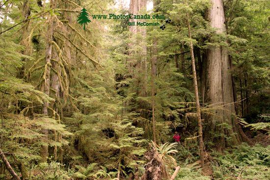 Three Sisters Cedars, Port Renfrew Region, Vancouver Island CM11-004