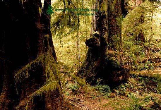 Three Sisters Cedars, Port Renfrew Region, Vancouver Island CM11-005