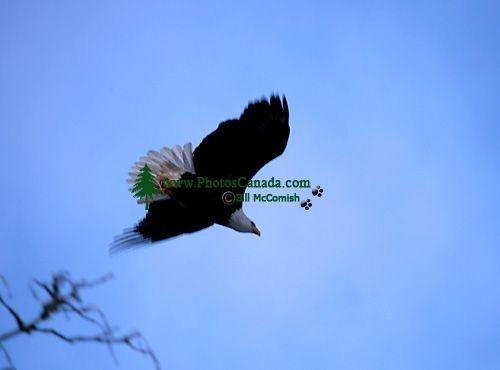 Bald Eagle CM-11-02