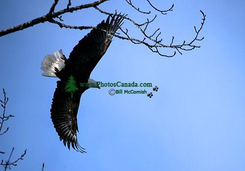 Bald Eagle CM-11-04