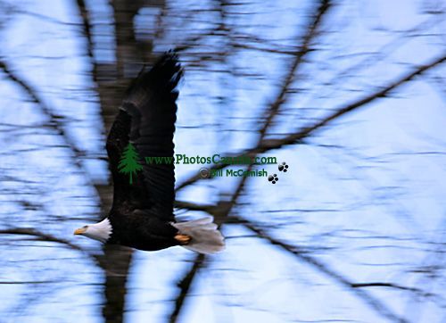 Bald Eagle CM-11-05