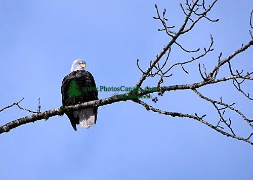 Bald Eagle CM-11-06