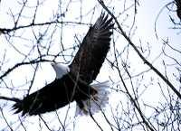 Bald Eagle CM-11-07