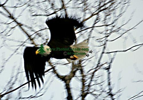 Bald Eagle CM-11-09