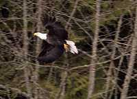 Bald Eagle CM-11-37