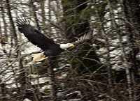 Bald Eagle CM-11-40