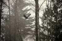 Bald Eagle CM-11-42