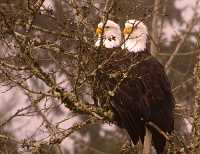 Two Headed Bald Eagle! CM-11-45