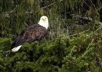 Bald Eagle CM-11-46