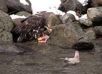 Young Bald Eagle Feeding on Salmon CM-11-47