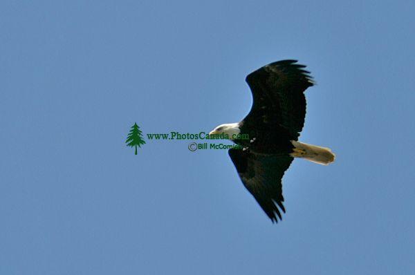 Bald Eagle, British Columbia, Canada CM-05