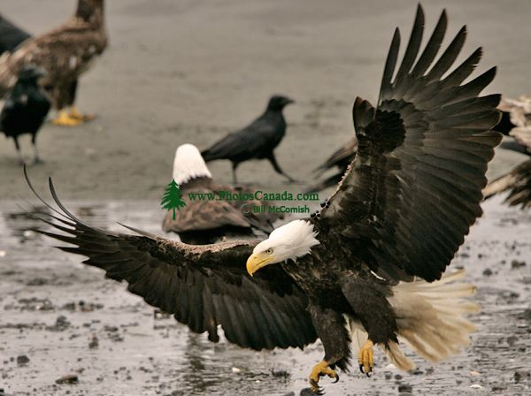 Bald Eagle, British Columbia, Canada CM-09
