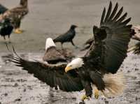 Bald Eagle, British Columbia, Canada CM-09