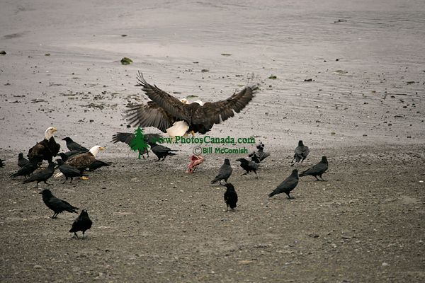 Bald Eagle, British Columbia, Canada CM-08