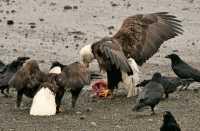 Bald Eagle, British Columbia, Canada CM-07