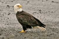 Bald Eagle, British Columbia, Canada CM-06